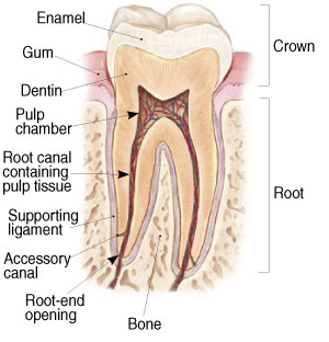 Root Canal Therapy with Dr Hom