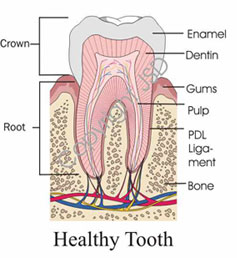 A diagram of a tooth